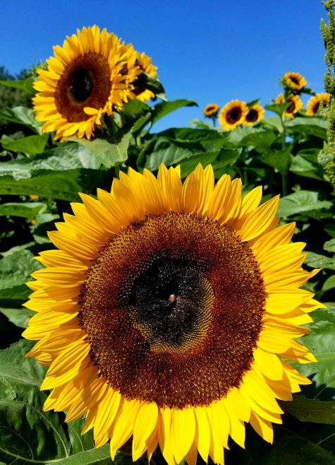 Dame Farm Johnston, RI Sunflower www.jessicamcollette.com