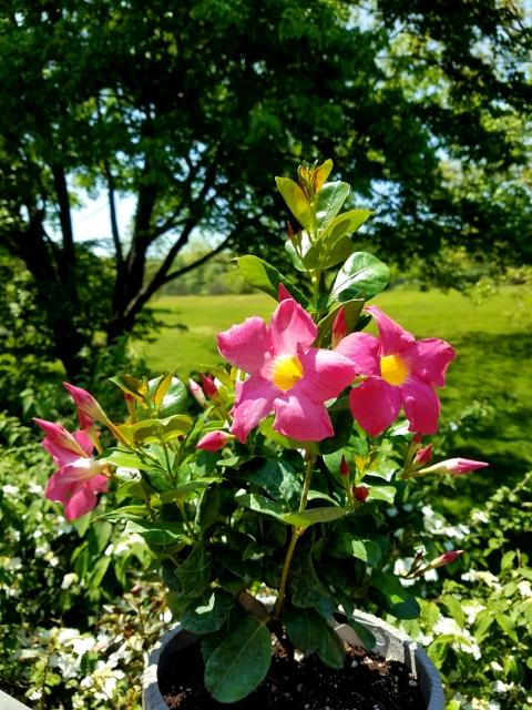 Dipladenia - www.jessicamcollette.com