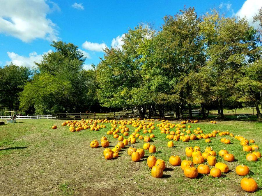 Farm Pumpkins www.jessicamcollette.com