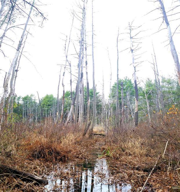 swamptrees